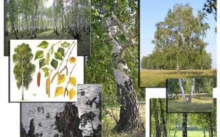 Цвет дерева береза
