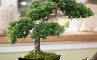 Фото китайского дерева